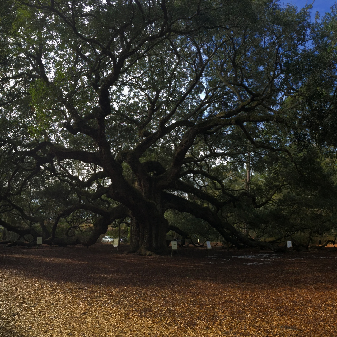 Angel Oak in Charleston, SC