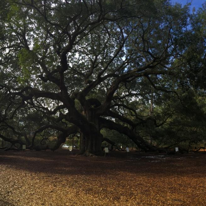 Angel Oak in Charleston, SC