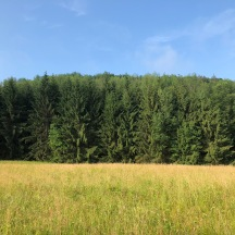 Evergreens at the edge of our Field of Dreams